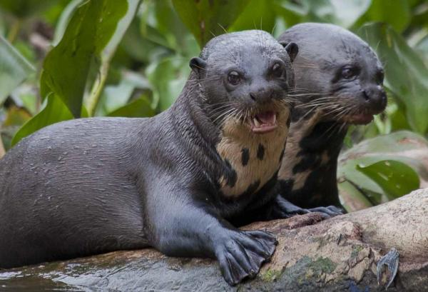 Brazil, Northern Pantanal, Giant River Otters