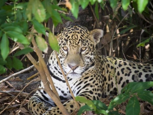 Brazil, Northern Pantanal, Jaguar