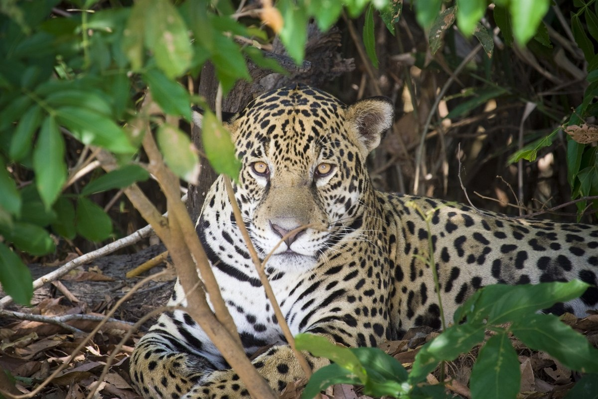 Brazil, Northern Pantanal, Jaguar