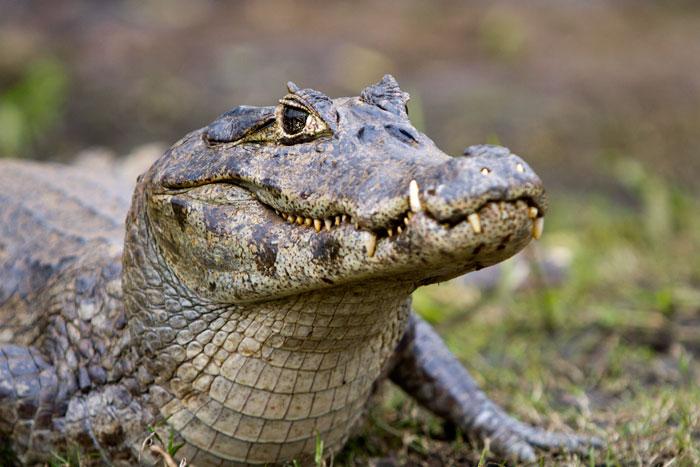 Brazil, Southern Pantanal, Alligator