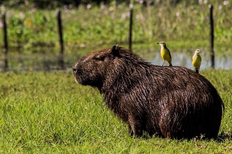 Brazil, Southern Pantanal, Capybara