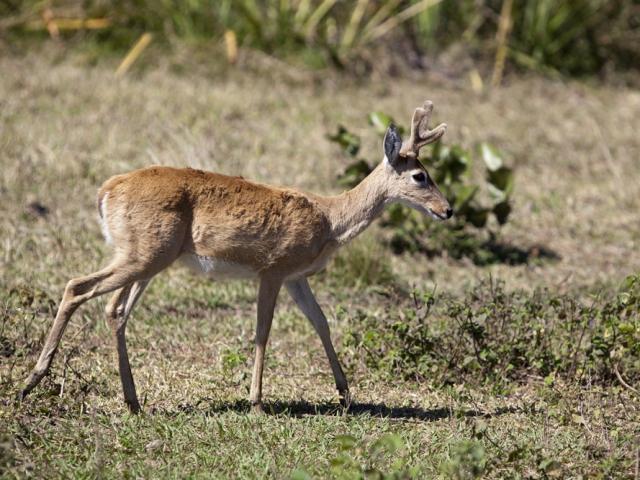 Brazil, Southern Pantanal, Pampa Deer Buck