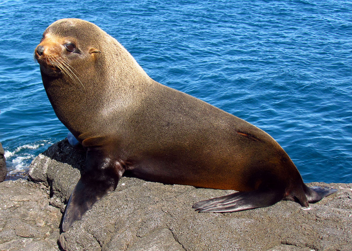 Ecuador, Galápagos Islands, Galapagos fur seal