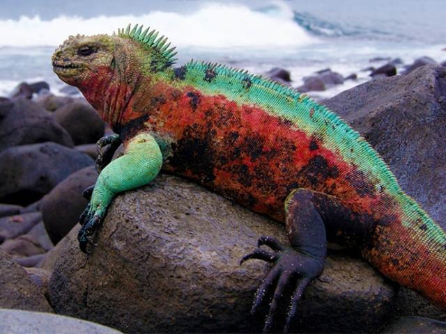 Ecuador, Galapagos Islands, Marine Iguana Espanola