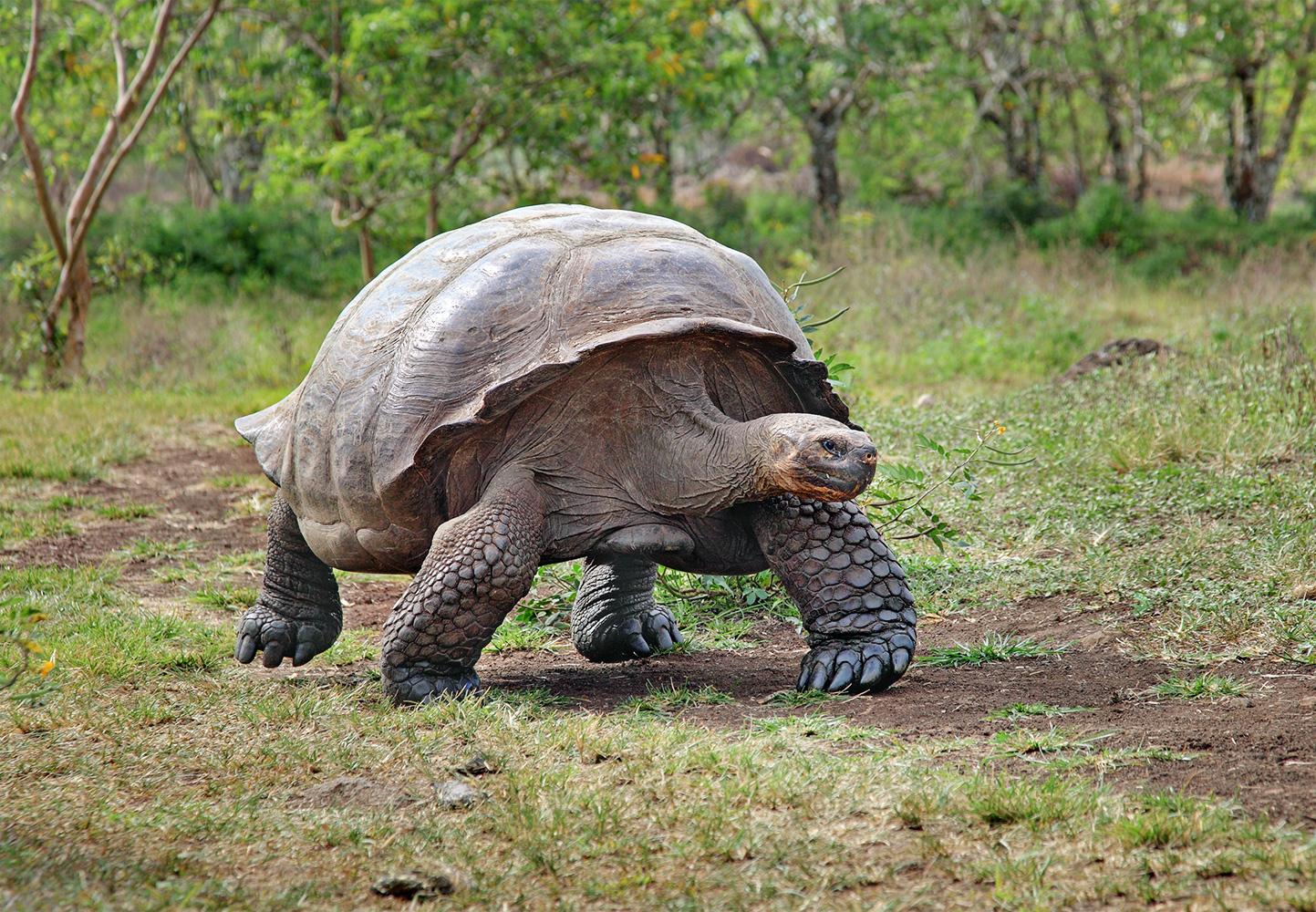 Ecuador, Galapagos Islands, Tortoise Reserve, Giant Tortoise