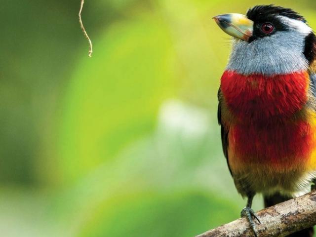 Ecuador Adventure | Toucan Barbet, Mashpi Reserve. Ecuador