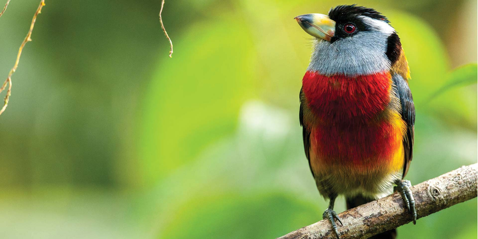 Ecuador, Mashpi Lodge, Toucan Barbet