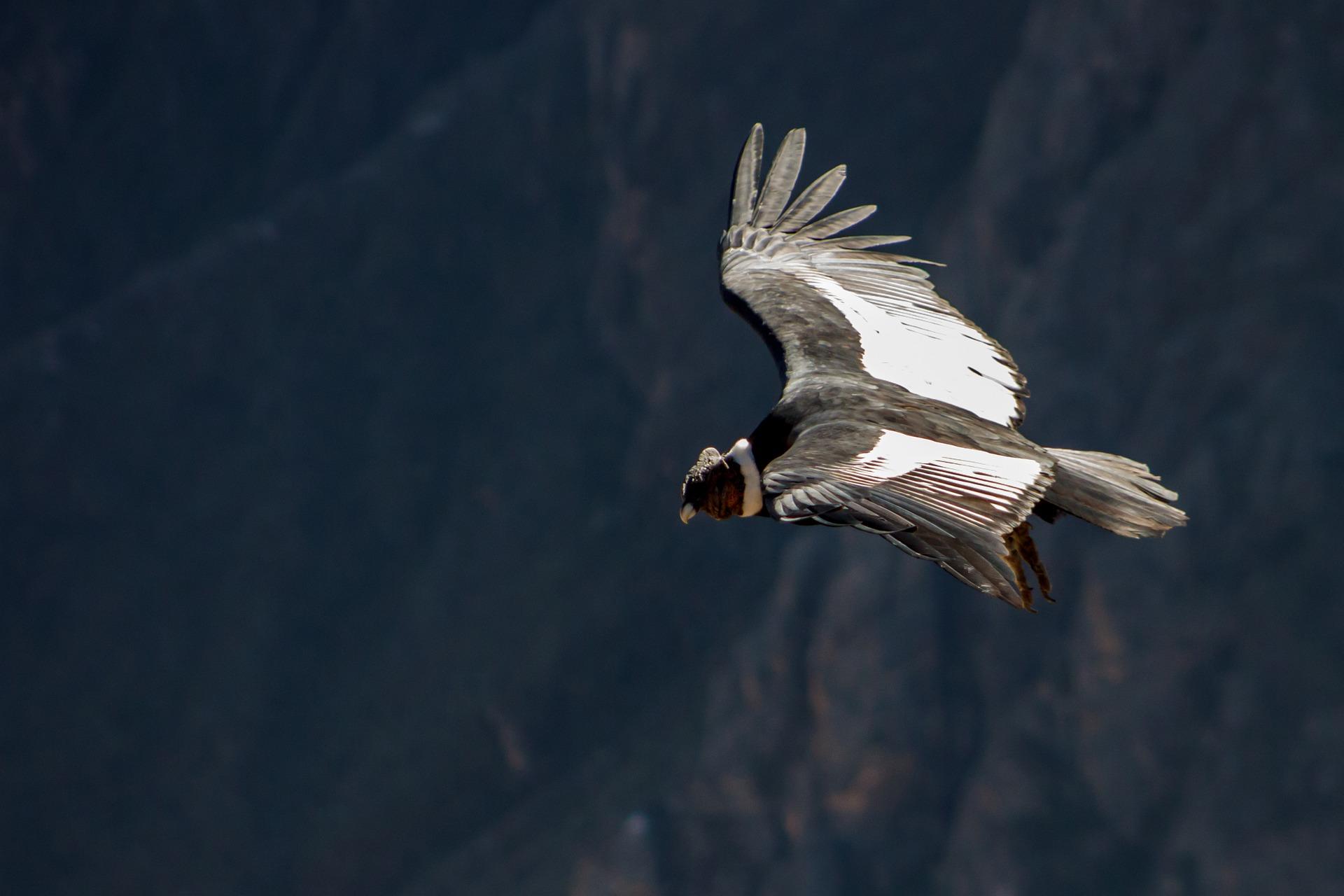 Epic Colca Canyon | Andean Condor Bird, Cruz del Condor, Peru