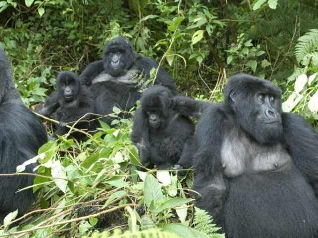 Gorilla Trekking - Sabyinyo Silverback Lodge, Volcanoes National Park