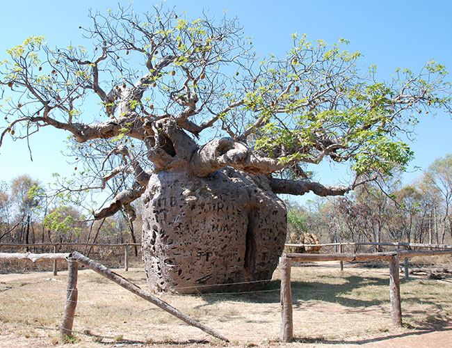 Broome to the Bungles, Derby Boab Prison Tree