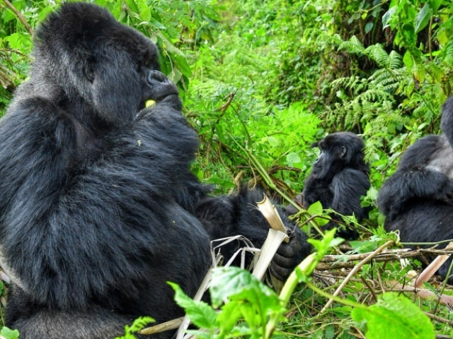 Gorillas of Rwanda, Volcanoes National Park