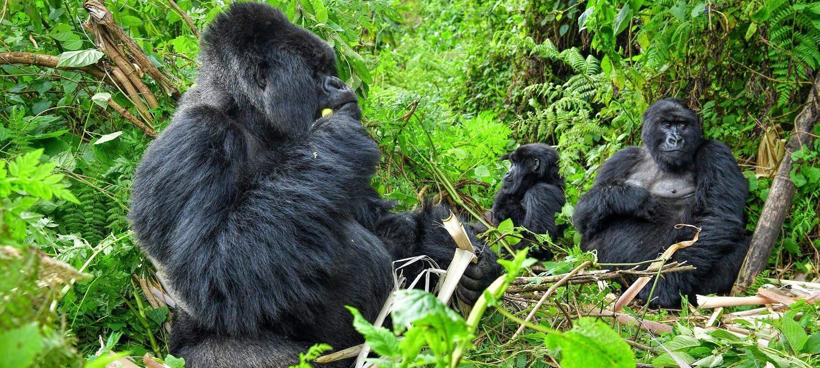 Gorillas of Rwanda, Volcanoes National Park