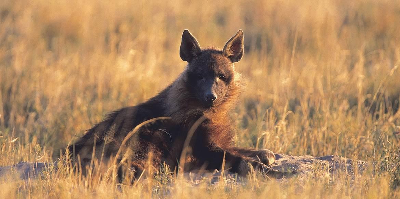 Delta to Desert - Jack's Camp game viewing, Botswana