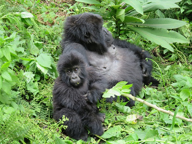 Gorilla Trekking - Bisate Lodge, Volcanoes National Park