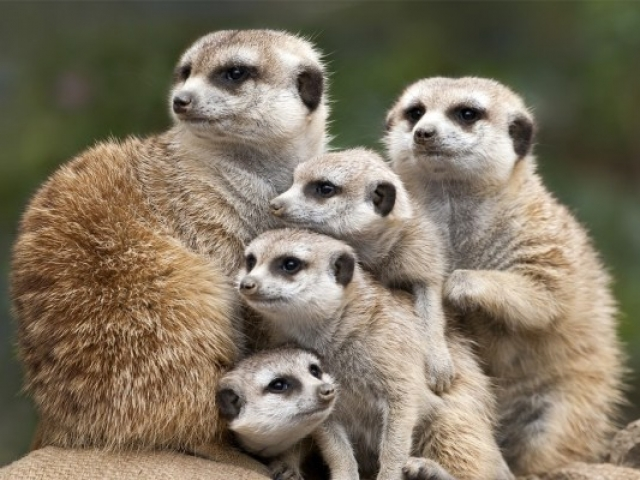 Cape Town to Chobe Adventure | Meerkats