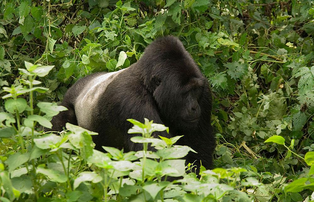 Gorilla Trekking in Uganda, Bwindi National Park