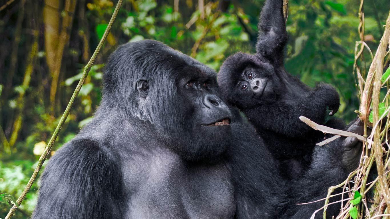 Gorilla Trekking - Gorilla Mountain View Lodge, Volcanoes National Park