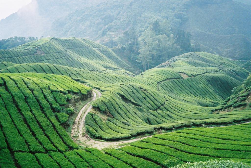 Highlights of Malaysia, Cameron Highlands, BOH tea plantation