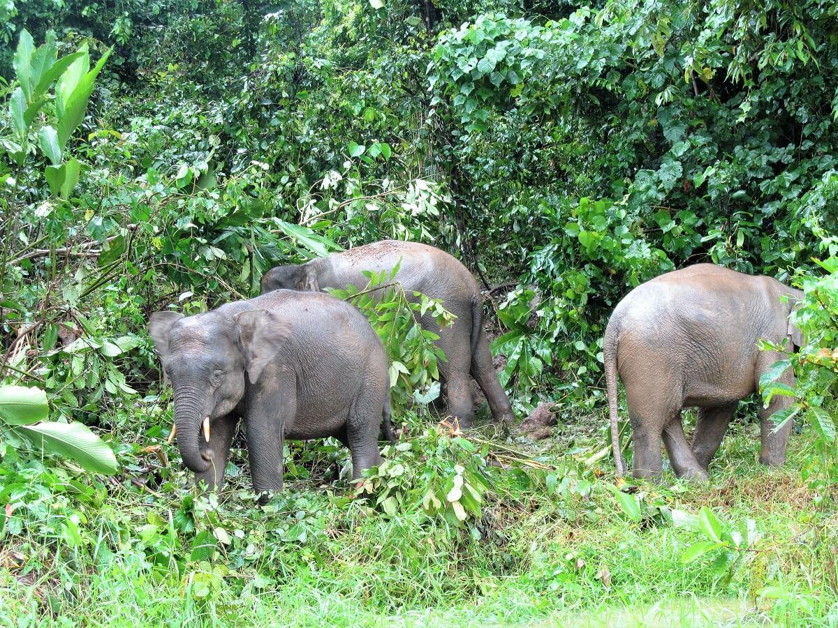 Handpicked Sabah, Kinabatangan River, Elephants