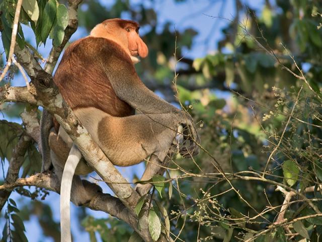 The Really Wild Tour, Kinabatangan River, Proboscis Monkeys