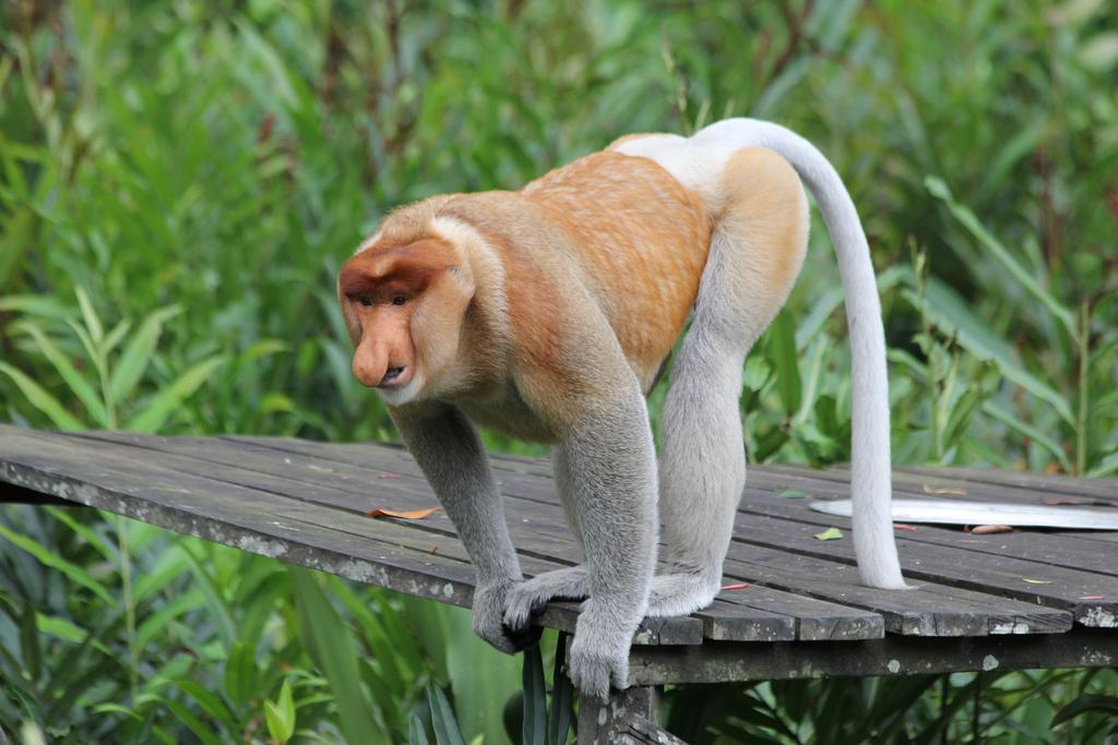 Borneo Wildlife Discoverer, Labuk Bay Proboscis Monkey Sanctuary