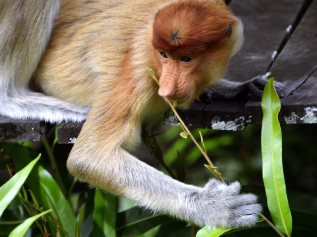 Kalimantan Orangutan Explorer by Houseboat | Proboscis monkeys, Indonesia