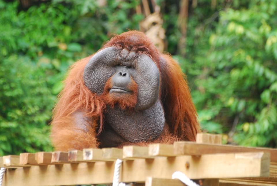 Sarawak Explorer, Semenggoh Wildlife Rehabilitation Centre