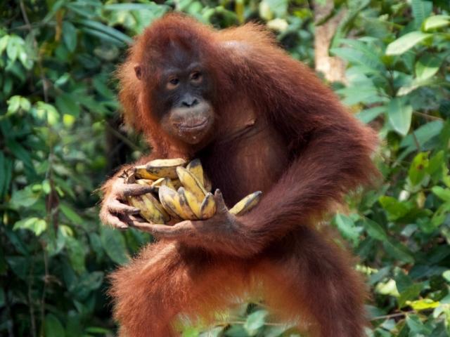 The Really Wild Tour, Sepilok Orangutan Rehabilitation Centre