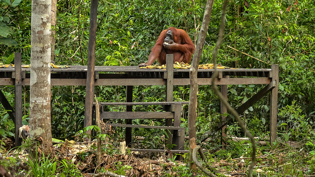 Kalimantan Orangutan Explorer by Houseboat | Tanjung Puting National Park