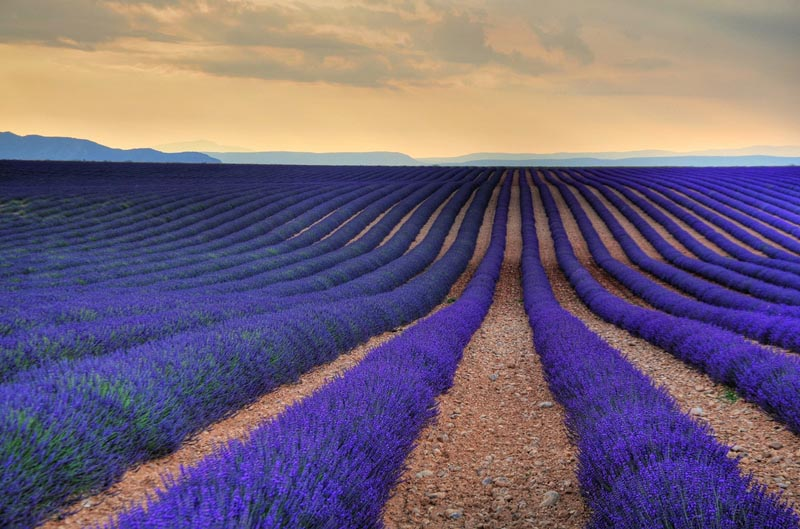 Provence & The French Riviera, Lavender Farm, Valensole, France