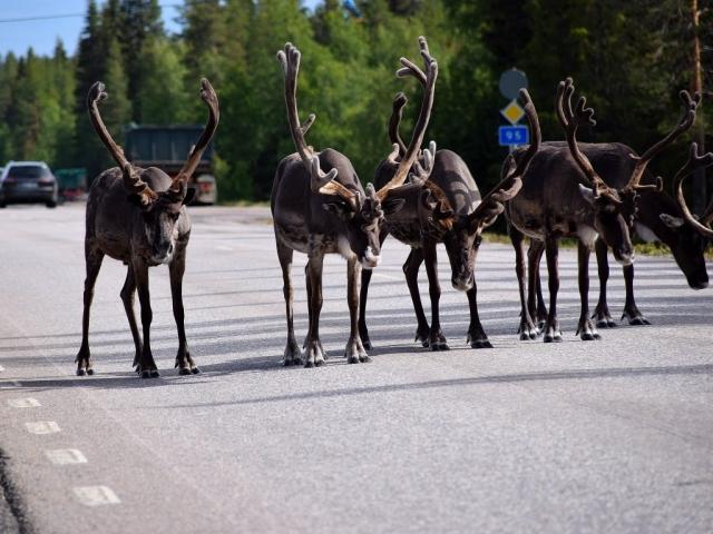 Grand Scandinavia - Reindeer, Lapland, Finland