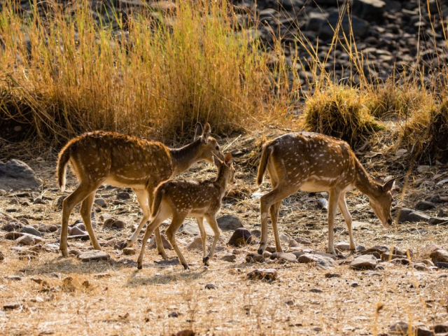 India's Golden Triangle & The Tigers of Ranthambore - Ranthambore National Park, Axis Deer