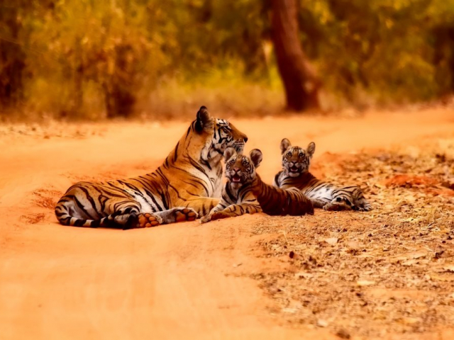 India's Golden Triangle & The Tigers of Ranthambore - Ranthambore National Park, Tigers