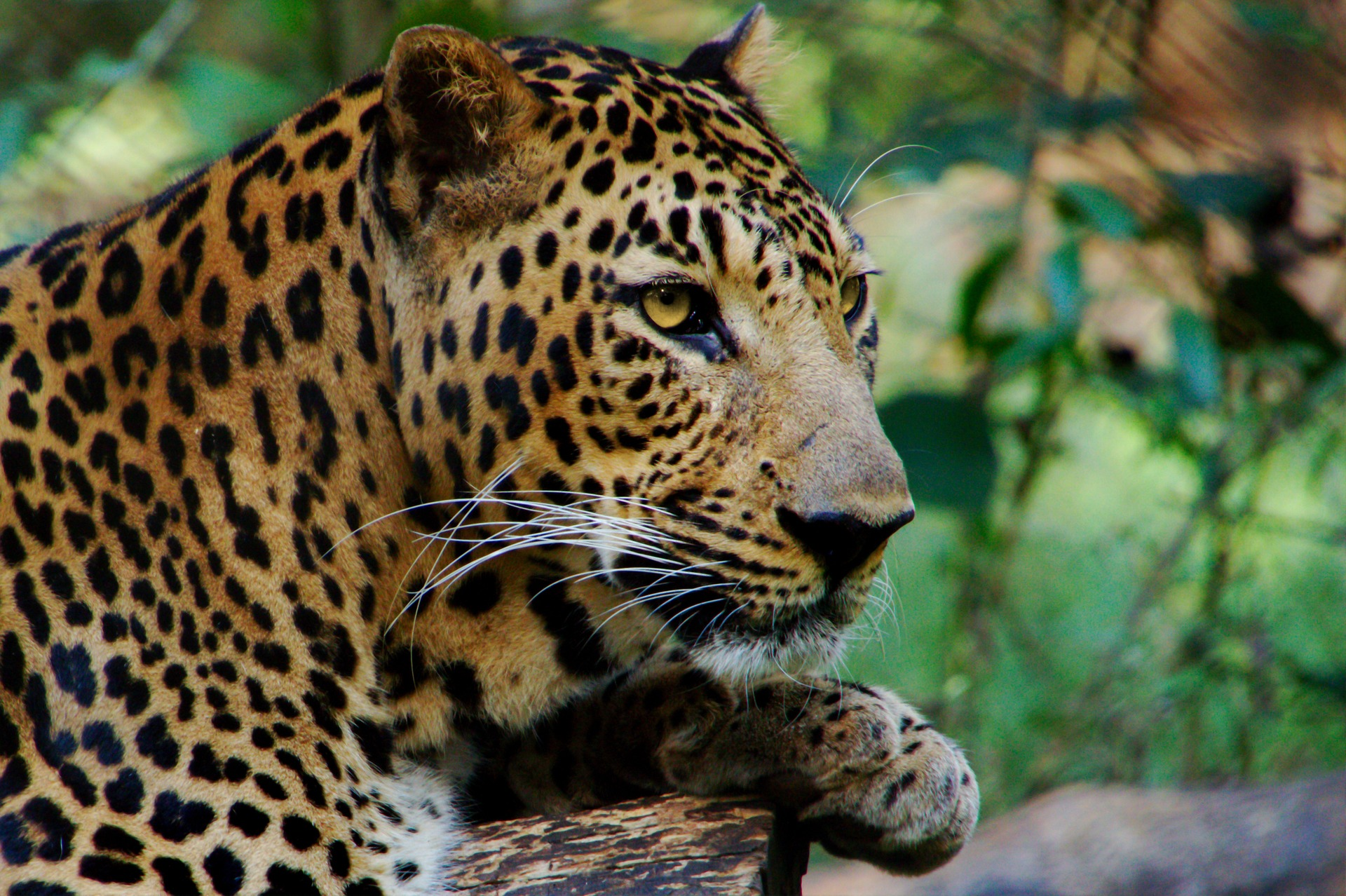 Icons & Hidden Treasures of Northern India - Leopard, Jawai Bandh, India