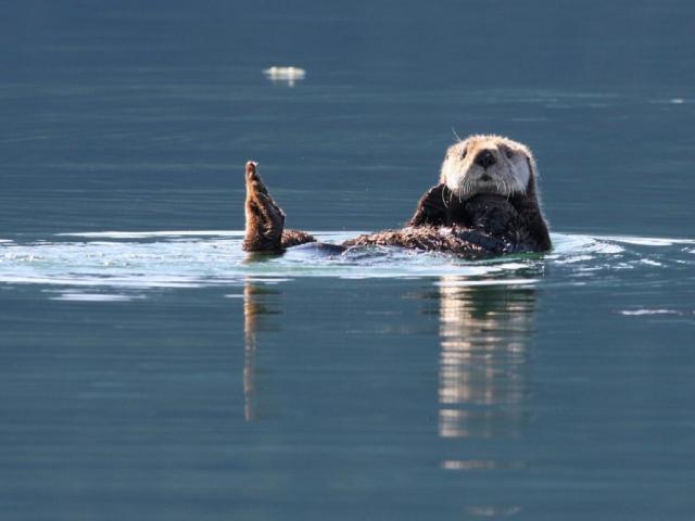 Majestic Alaska | Kenai Fjords National Park, Sea Otter, Alaska
