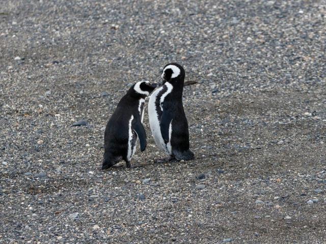Wonders of Patagonia | Magellanic Penguins, Beagle Channel, Ushuaia, Argentina