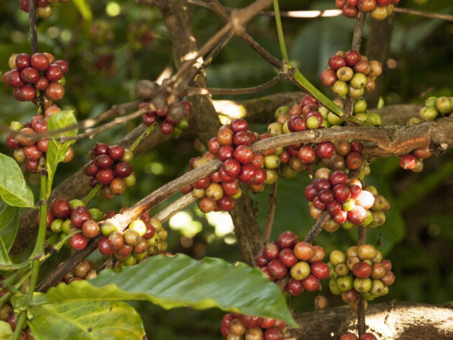 Coffee Aromas & Colonial Charms | Coffee Plantation, Colombia