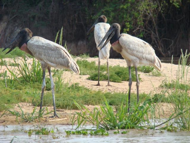 Amazon & Pantanal | Jabiru, Pantanal, Brazil