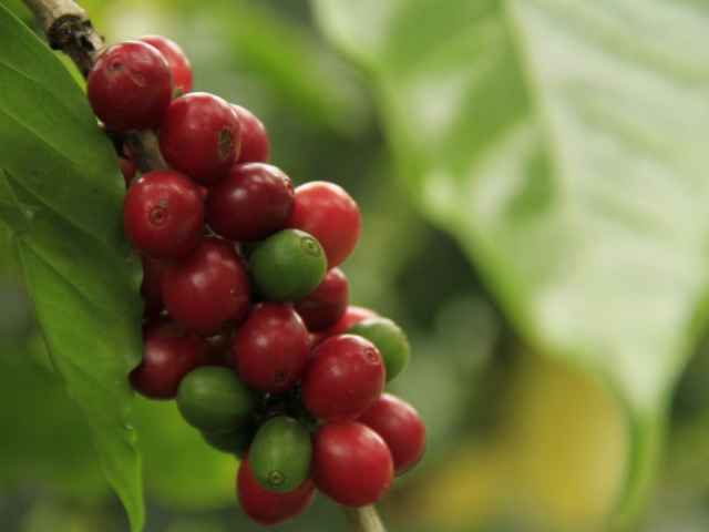 Aromas of the Coffee Region (Armenia) | San Alberto, Coffee Plantation, Colombia