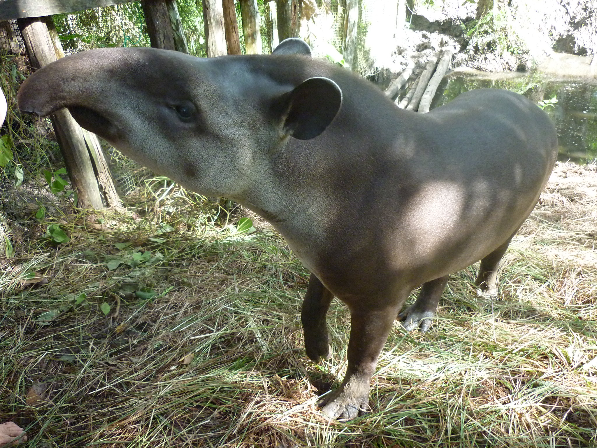 Amazon & Pantanal | Tapir, Amazon, Brazil