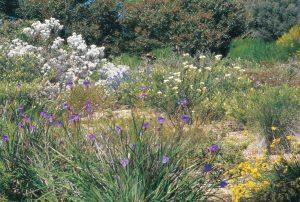 The Wildflower Wanderer | Wildflowers, Kalbarri National Park, Coral Coast, Western Australia
